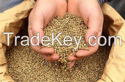 Grade A Hemp Seeds
