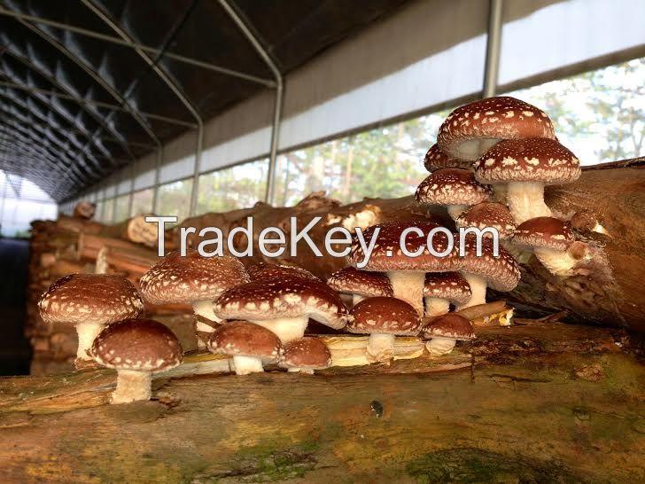 Fresh / Dried Shiitake Mushroom