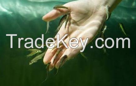 Live Garra rufa fish