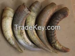 Raw cow horn / Horn cow