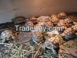 Elegans, Radiated, Egyptian, Russian, Leopard, Galapagos, Hermann's, Star, Sulcata Tortoises And Other Turtles for Sale