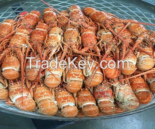 Red claw live frozen lobster(crayfish) for sale