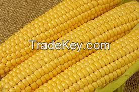 High Rich Quality Yellow Corn / Maize