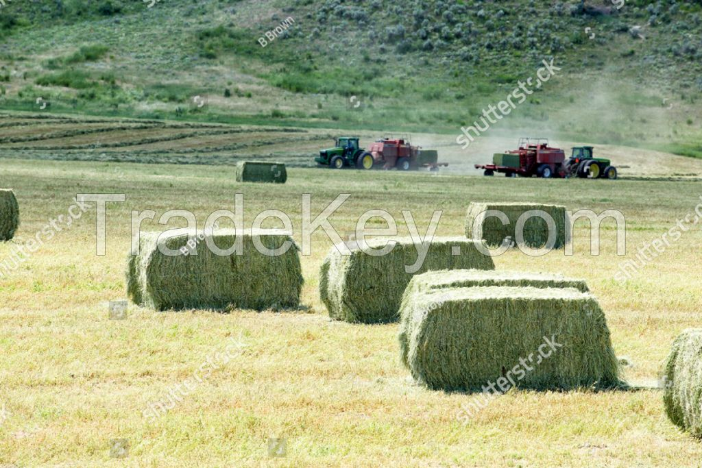 Sell alfalfa hay, Timothy hay