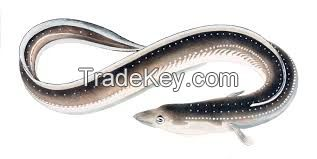Eel  FISH