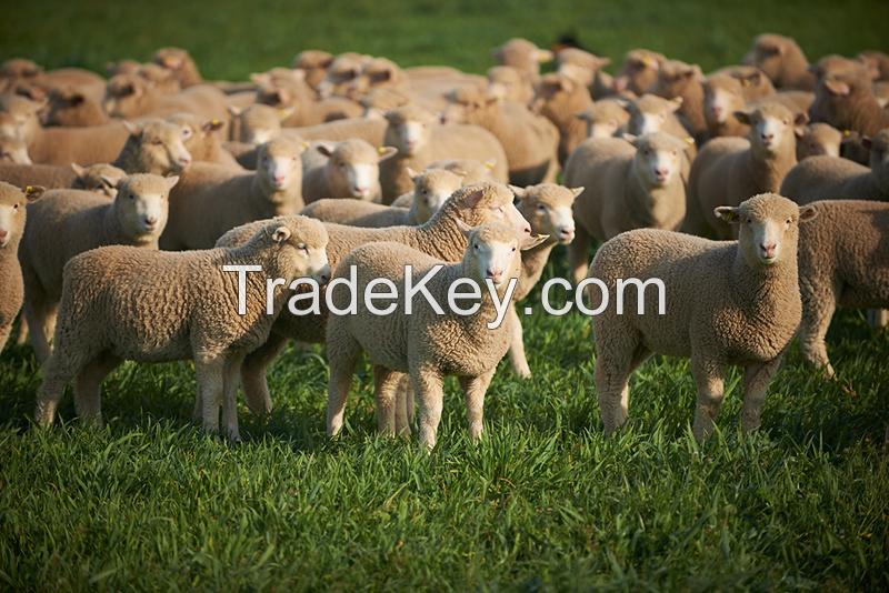 SUPER Healthy Live Awassi sheep / Merino sheep / Dorper Ewe Sheeps and Lambs now available