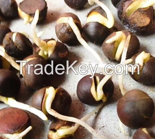 1kg Chinese green Tea tree seeds for sowing