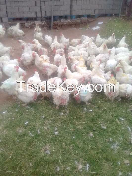 Live Fowl / Chicken For Sale