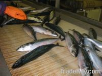 Atlantic Mackerel Fish