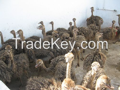 Ostrich Chicks And Ostrich Eggs For Sale