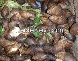 Live, Frozen, Dried Giant African Snails and Oil
