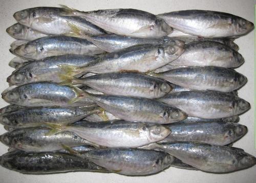 Wholesale Frozen Horse Mackerel Fish