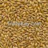 Barley Grains for sale