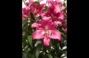 Sell Fresh Lily Cut Flowers Supplier