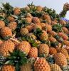 FRESH PINEAPPLES FROM VIETNAM WITH BEST PRICE