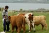Cattle, Sheep , Goats  Friesland , Oxes , Cross breed, Cow , Calves, Bull , Heifa , Sheep