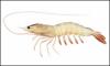 Scampi, Lobster, Shrimp , Prawns, Metanephrops , Nephrops