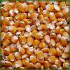 Non GMO White and Yellow Corn/Maize GRADE 1