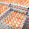 Good Fresh Chicken Eggs / Round Table Eggs for Sale / fertile hatching eggs