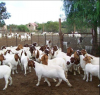 Full Blood Boer Goats Live Sheep Cattle Lambs For sale