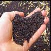 Canola Seeds and Rape Seeds
