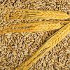 High quality Argentine Barley