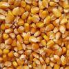 Yellow Corn , Yellow Maize , Non GMO Yellow Corn