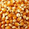 YELLOW MAIZE- NON GMO FOR SALE