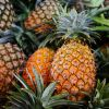 100% best Pineapples for sale