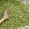 2018 New Crop Common Cultivation Sprouting Green Mung Beans
