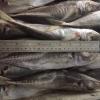 horse mackerel frozen fish