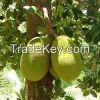fresh Jack Fruits for sale