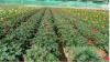 Sell Gerbera seeding plant