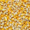 Yellow Corn/Maize for Human Consumption and Animal Feed