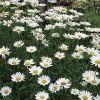 Wild Chrysanthemum Flower Dried Chrysanthemum Bud Tea Flower Tea Bright Eyes