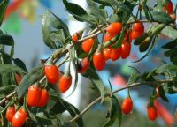 Sell goji berry Extract 20%-40% polysaccharides