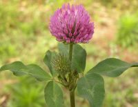 Sell Red Clover Extract 8%, 20%, 40%