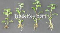 Fresh Cut Chrysanthemums Plants