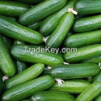High Quality Fresh sea Cucumber On Sale