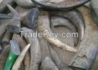 Bulk Exporter Buffalo Horn Tip/Natural Horn Blanks