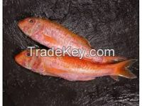 Red Mullet Sea Fish