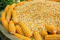 Quality Grade 1 Yellow Corn & White Corn/maize for Human & Animal feed