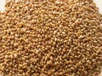 Top Quality Alfalfa Seeds
