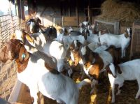 100% Full Blood Boer Goats, Live Boer Goats Ready For Export