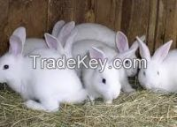 Live Rabbits from Pakistan
