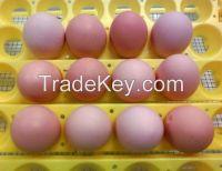 Fertile Broiler Eggs