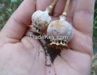 Poppy seed,