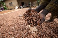 Sell High quality Cocoa Beans