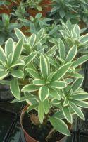 Daphne Odora Plant