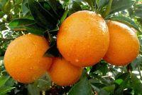 Gannan Navel Orange
